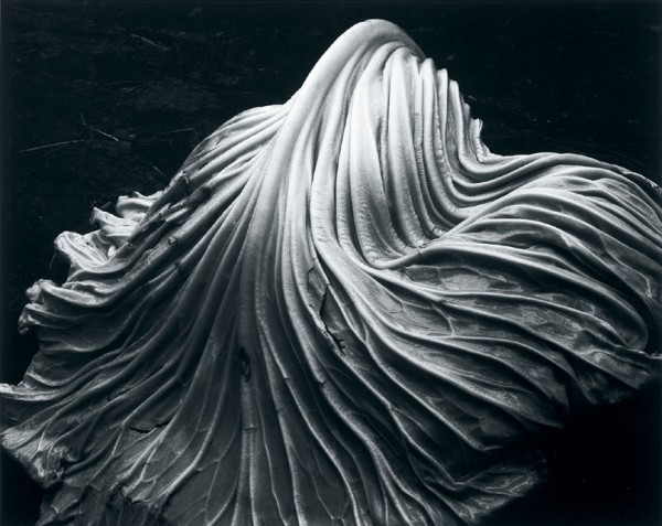 Edward Weston, Cabbage Leaf, Black & White Photograph, 1931
