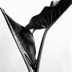 Imogen Cunningham, Calla Lilly Leaves