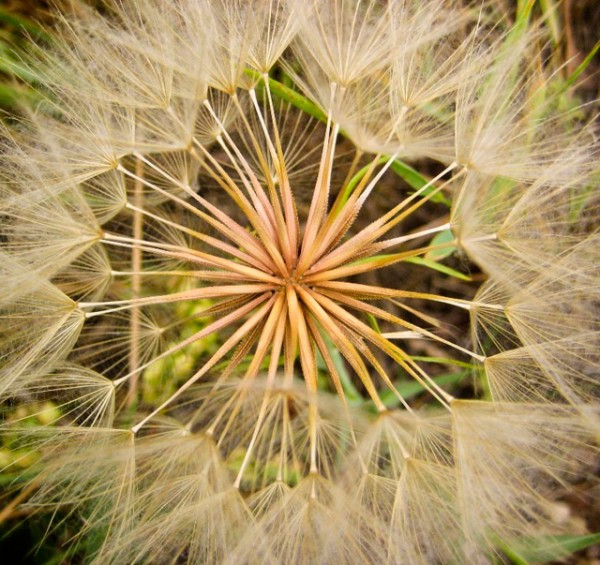 Barbara Bogart, Dandelion, Color Photograph, 2014